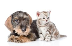 Wire-haired dachshund puppy and tiny kitten sitting in front view. isolated on white background Stock Image