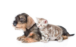 Wire-haired dachshund puppy and tiny kitten together in side view. isolated Stock Photography