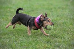 Wire haired dachshund, running, fetching a ball Stock Photo