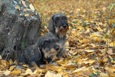 Wire-haired dachshund Royalty Free Stock Photo