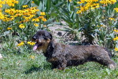 Wire-haired dachshund Royalty Free Stock Photos