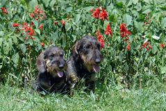 Wire-haired dachshund Stock Image