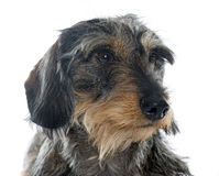 Wire haired dachshunds Royalty Free Stock Image