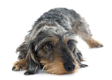 Wire haired dachshunds Stock Photos