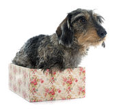 Wire haired dachshunds Royalty Free Stock Photos