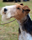 Wire Haired Fox Terrier portrait royalty free stock image