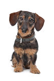 Wire haired miniature Dachshund Royalty Free Stock Images