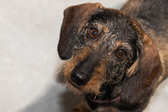Wire-haired miniature dachshund looking up at camera Stock Photography