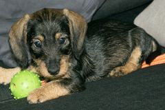 Wire haired miniature dachshund puppy Rudi playing on sofa royalty free stock image