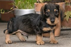 Wire haired miniature dachshund puppy Rudi on terrace looking at you. Wire haired miniature dachshund puppy Rudi standing on terrace looking at you Royalty Free Stock Image
