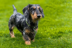 Wire-haired miniature dachshund walking across field. Towards the right of the camera Stock Image