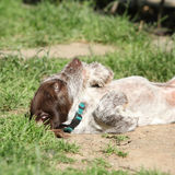 Wire-haired Pointing Dog puppy Royalty Free Stock Photo