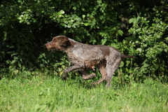 Wire-haired Pointing Dog running Royalty Free Stock Photos