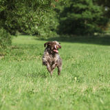 Wire-haired Pointing Dog running Royalty Free Stock Photo