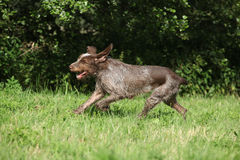 Wire-haired Pointing Dog running Stock Image