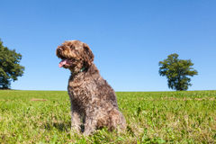 Wire Haired Pointing Griffon or Korthals in an agricultural field Royalty Free Stock Photography