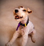 Wire haired terrier dog Stock Photos