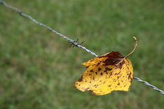 Wire and leaf. Yellow leaf autumn fall steel wire old Royalty Free Stock Image