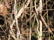 Wire and overgrown twigs and branches climbing. Natures Climbers navigating the wire fencing Royalty Free Stock Photography