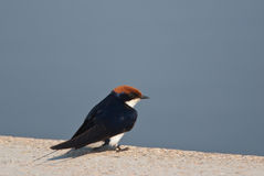 Wire-tailed Swallow Royalty Free Stock Image