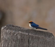 Wire-tailed Swallow in The Gambia Stock Photo