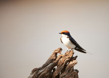 Wire-tailed Swallow (Hirundo smithii) Stock Photo