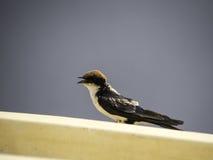 Wire-tailed swallow (Hirundo smithii) Stock Image