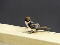 Wire-tailed swallow (Hirundo smithii) Royalty Free Stock Images