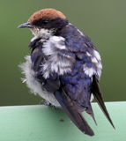 Wire Tailed Swallow. Kruger National Park - Jock - Afsaal Royalty Free Stock Photography