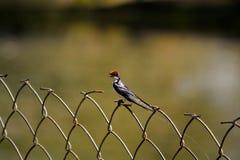 Wire-tailed Swallow &x28;Hirundo Smithii&x29;