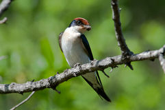Wire-Tailes swallow with mud for nest building Stock Photos