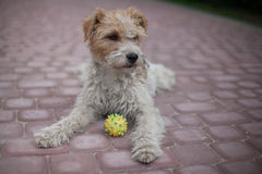 Wired fox terrier dog. Lying Wired fox terrier dog with a ball Stock Photo