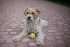 Wired fox terrier dog. Lying Wired fox terrier dog with a ball Stock Images