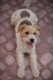 Wired fox terrier dog. Lying down and ready to play Stock Photography