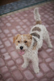 Wired fox terrier dog. Standing Wired fox terrier dog ready to play Stock Photos
