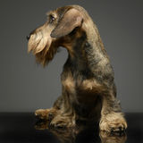 Wired hair Dachshund looking left in a grey studio. Wired hair Dachshund looking left in grey studio Royalty Free Stock Photography