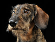 Wired hair dachshund portrait in a black photo studio Royalty Free Stock Photography