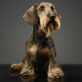Wired hair Dachshund sitting in a grey studio. Wired hair Dachshund sitting in grey studio Royalty Free Stock Image