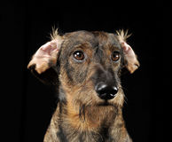 Wired hair dachshund with twisted ears portrait in a black photo. Wired hair dachshund with twisted ears portrait in black photo studio stock photos