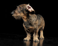 Wired hair dachshund with twisted ears staying in a black photo. Wired hair dachshund with twisted ears staying in black photo studio stock images