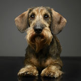 Wired hair Dachshund wachinbg in a gray background. Wired hair Dachshund wachinbg in agray background Royalty Free Stock Images