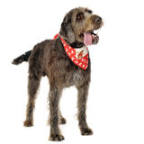 Wired hair german pointer staying with open mouse in a white stu Royalty Free Stock Photo