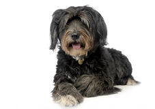 Wired hair mutt dog looking into a camera in studio. Wired hair mutt dog looking into camera in studio Royalty Free Stock Photography