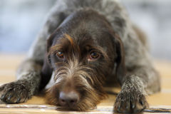 Wired hair terrier. Laying on floor Royalty Free Stock Images