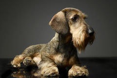 Wired haired Dachshund lying on the dark ground. Wired haired Dachshund lying on the ground Royalty Free Stock Images