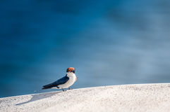 Wired Tailed Swallow on Edge of River Boat Stock Photo