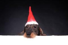Wirehair dachshund στην κόκκινη ΚΑΠ για τα Χριστούγεννα στοκ εικόνες με δικαίωμα ελεύθερης χρήσης