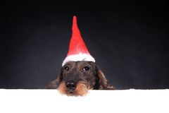 Wirehair dachshund in red cap for Christmas. Wirehair dachshund in red cap - Christmas Royalty Free Stock Images