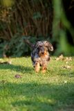 Wirehaired dachshund Stock Photos