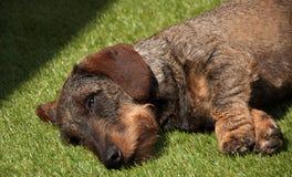 Wirehaired dachshund Στοκ Εικόνες